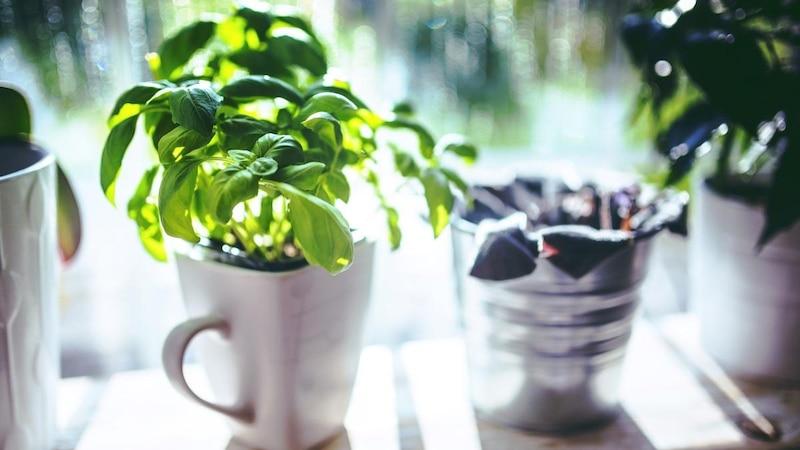 Basilikum eignet sich perfekt für Neueinsteiger des Gemüse Regrowing Trends.