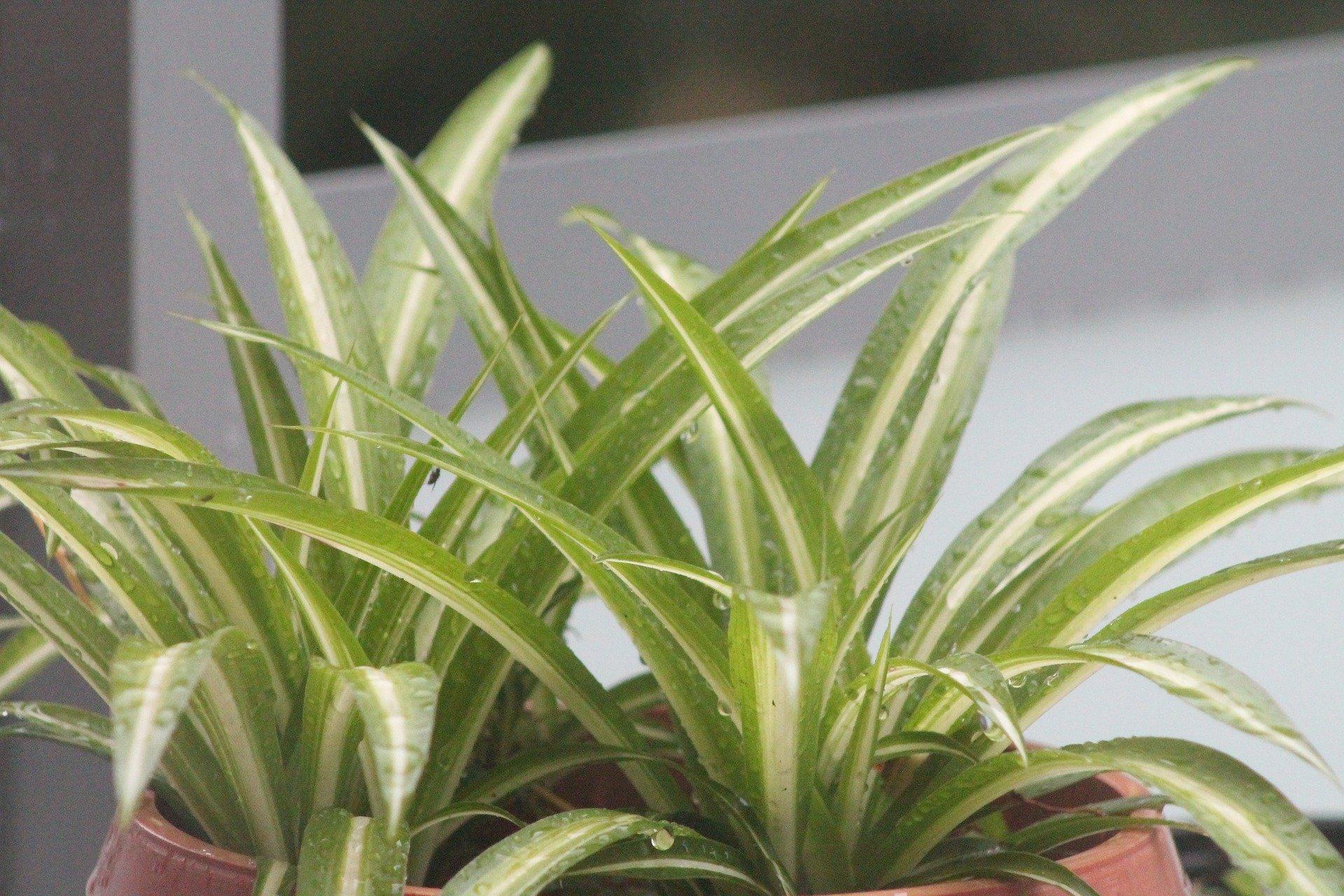 Wenn Ihre Grünlilie braune Spitzen hat, helfen oft schon kleine Veränderungen
