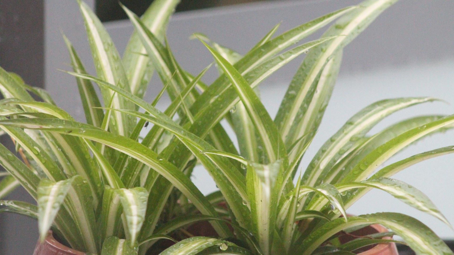 Ist die Grünlilie giftig für Katzen? Das sollten Sie wissen