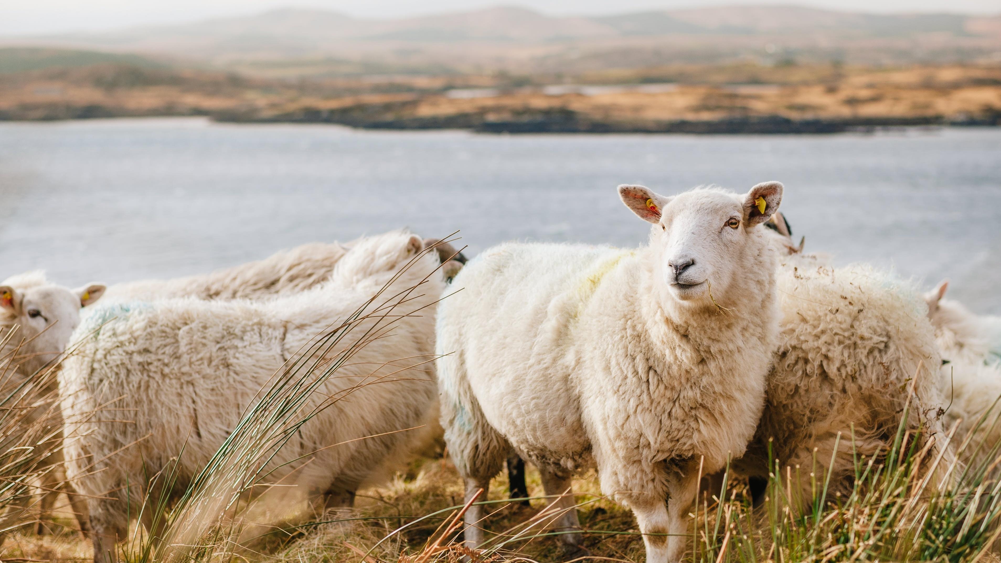 Mindestens einmal im Jahr ist es nötig, Schafe zu scheren.