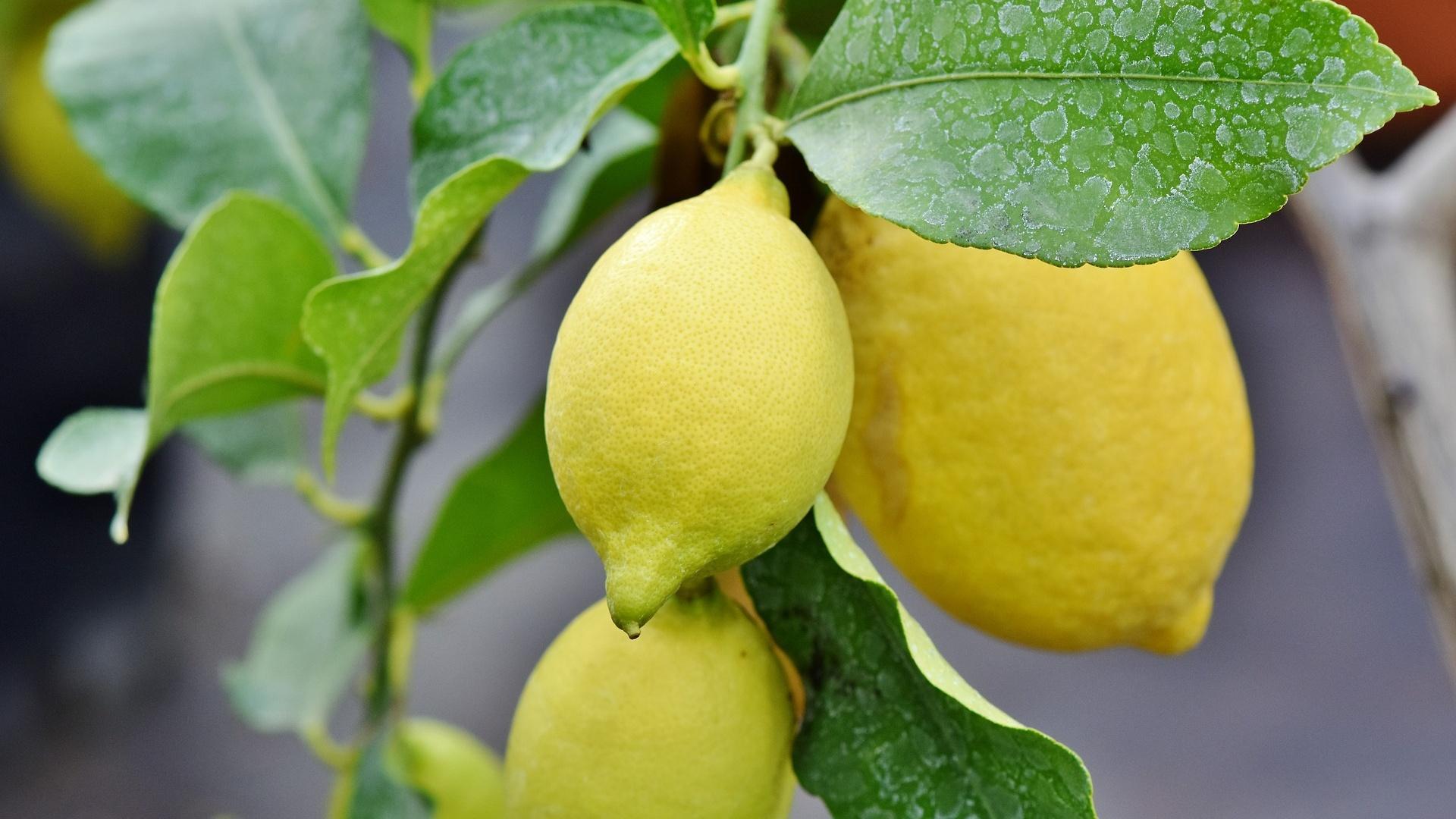 Zitronenpflanzen eignen sich sehr gut für die Haltung im Kaltwintergarten.