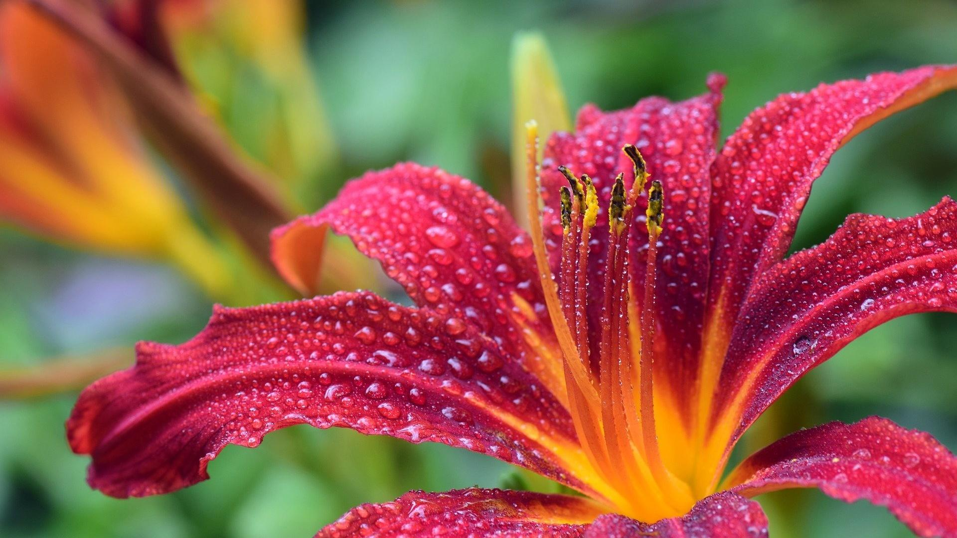 Lilien: Blütezeit der Pflanze