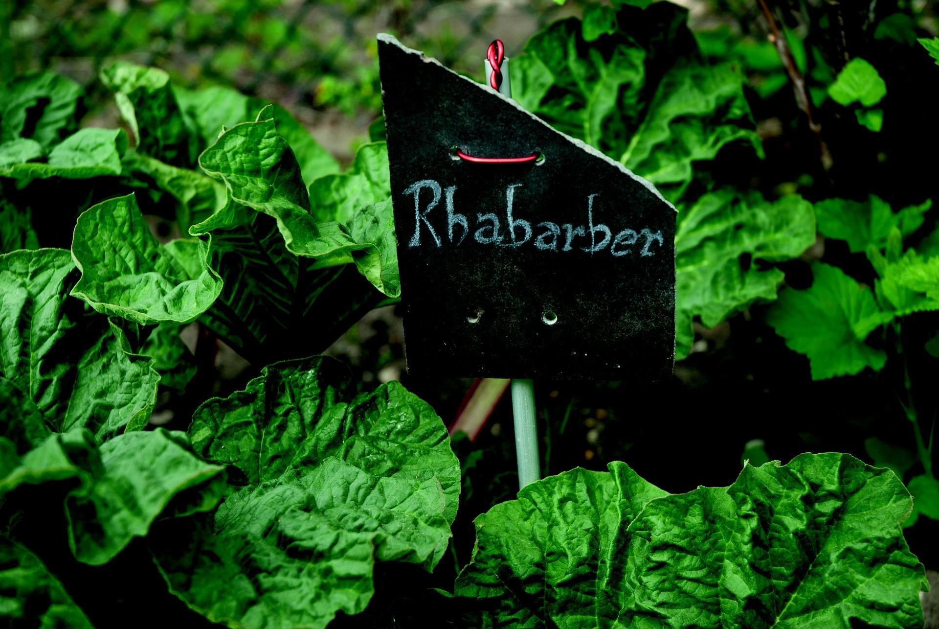 Rhabarber-Blätter eignen sich als ein guter Pflanzendünger.