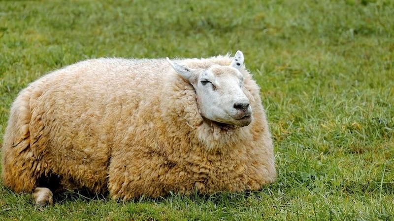 Manchmal schaffen es Schafe nicht mehr, alleine aufzustehen.
