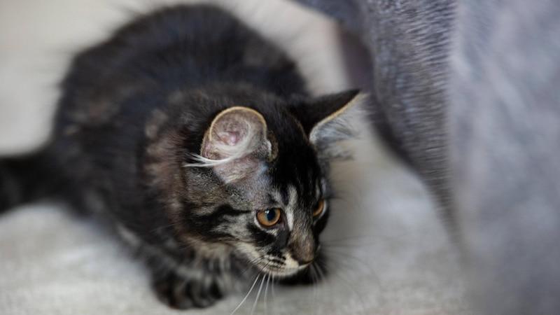 Katzen sind als Haustiere in der Mietwohnung nicht immer erlaubt