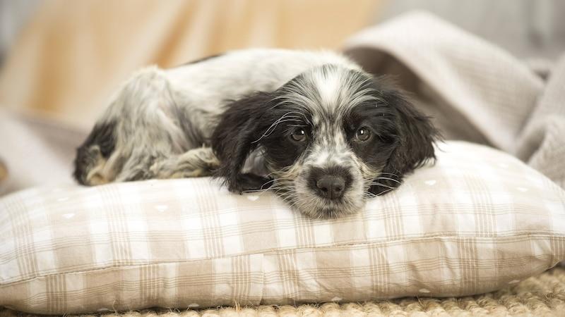 Hund einschläfern lassen: Wann der richtige Zeitpunkt gekommen ist