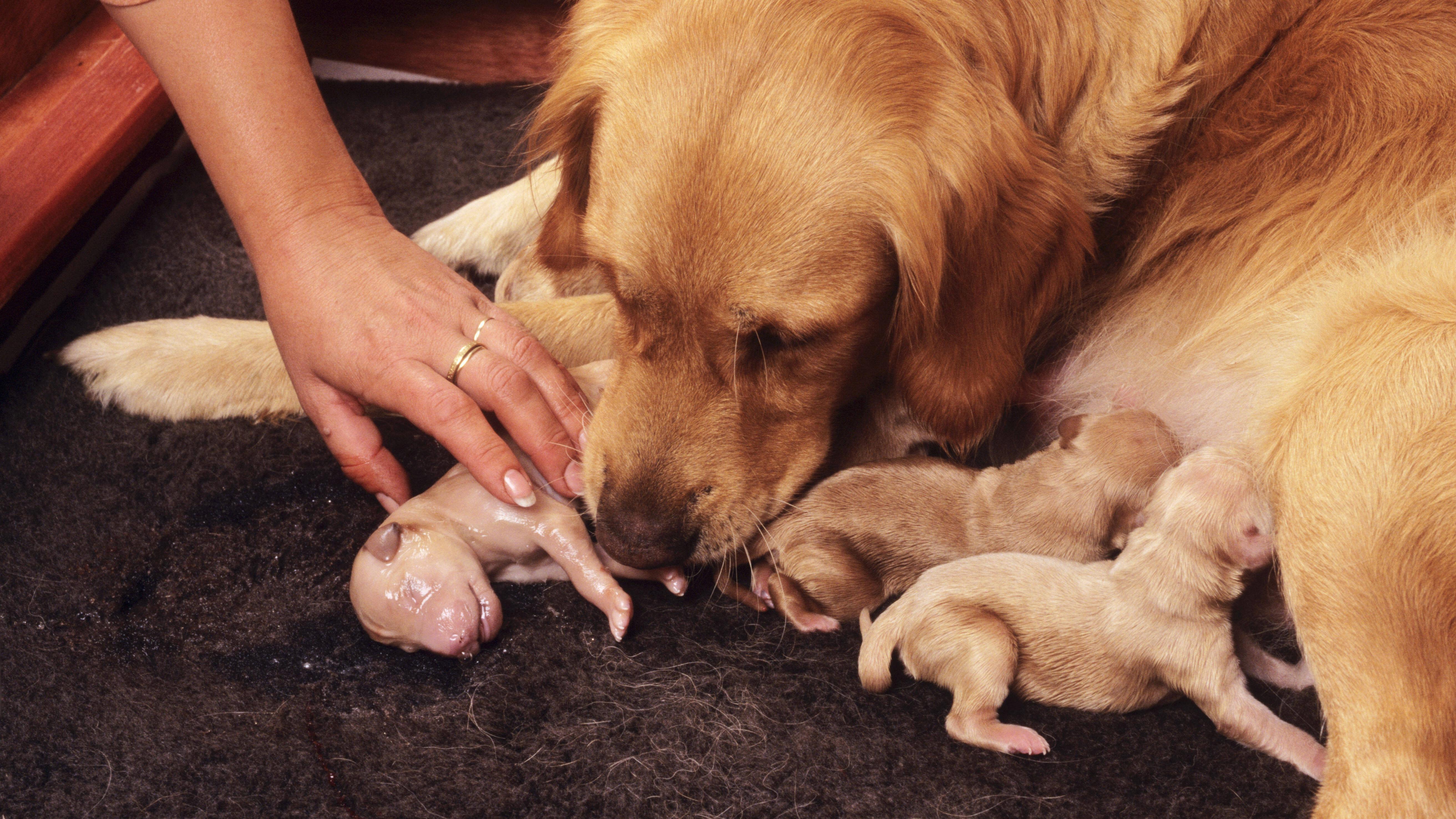 Geburt bei Hunden: Wie Sie die Hundegeburt unterstützen können