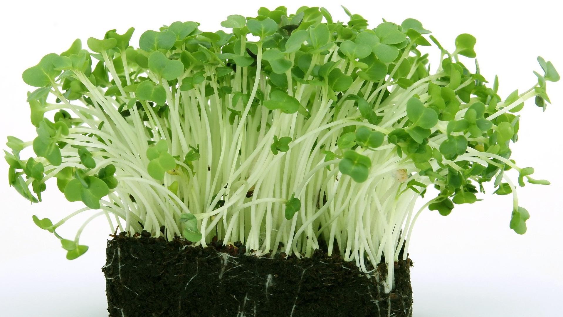 Microgreens anbauen: Tipps und Tricks rund um Anzucht und Co.