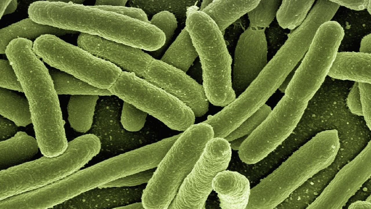 Bakterien im Darm sind für einen gesunden Organismus unerlässlich.