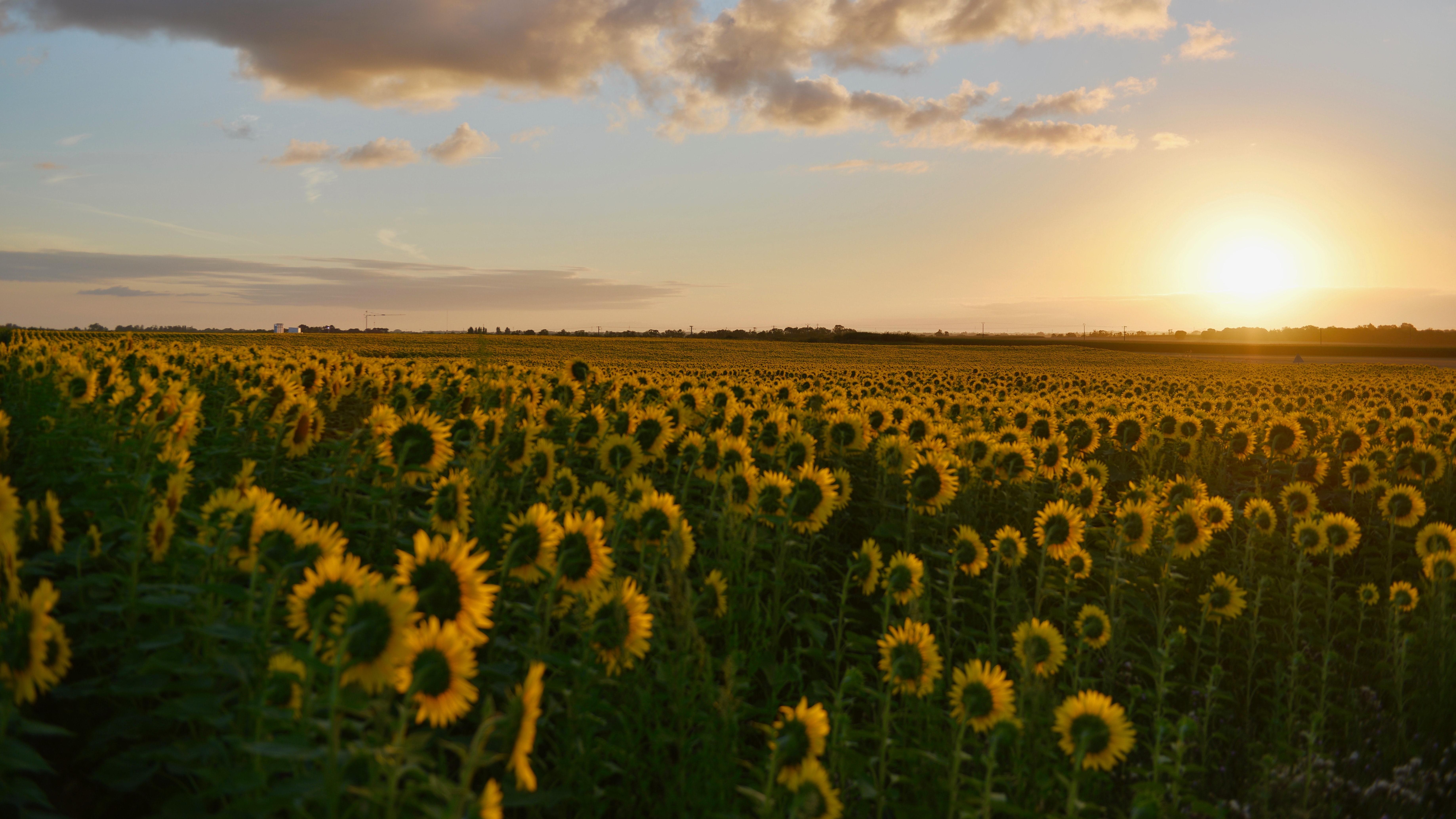 Circadianer Rhythmus – ganz so wie bei Sonnenblumen funktioniert es nicht, aber auch unsere innere Uhr richtet sich nach der Sonne.