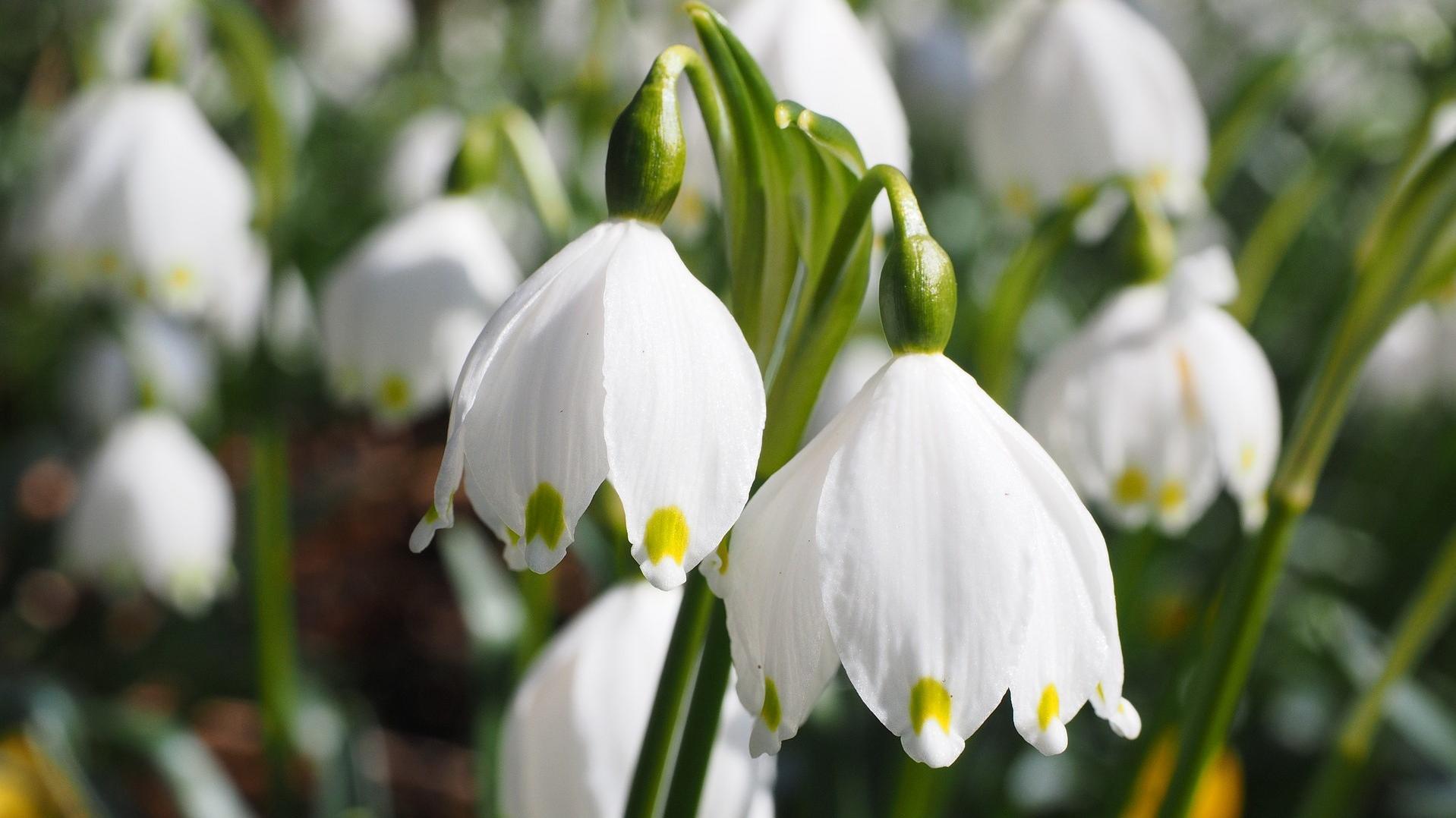 Wann Märzenbecher blühen: Wissenswertes zur Blütezeit