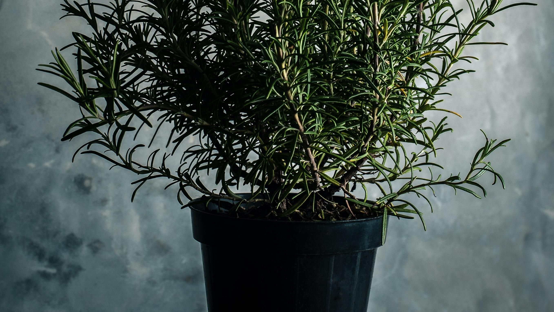 Für die Pflege von Rosmarin im Topf pflanzen Sie den Strauch nach dem Kauf so schnell wie möglich in ein größeres Gefäß um.