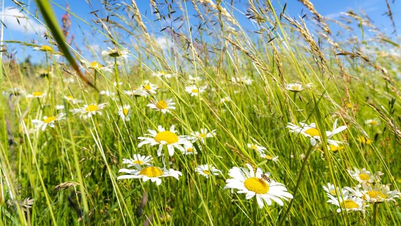 Bienenweide anlegen: Die besten Tipps für bienenfreundliches Gärtnern