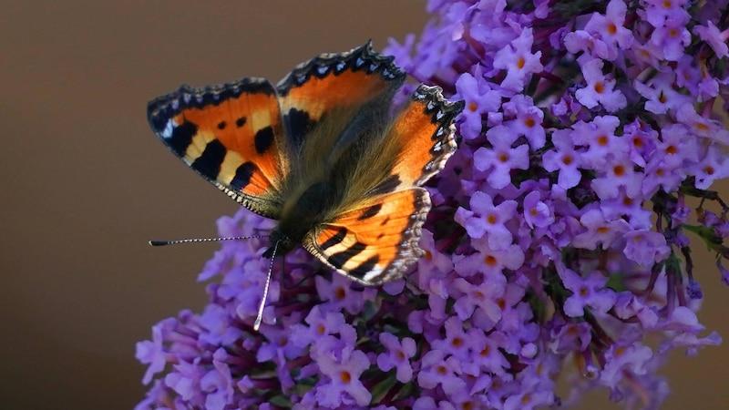 Schmetterlinge bestimmen: Die besten Apps