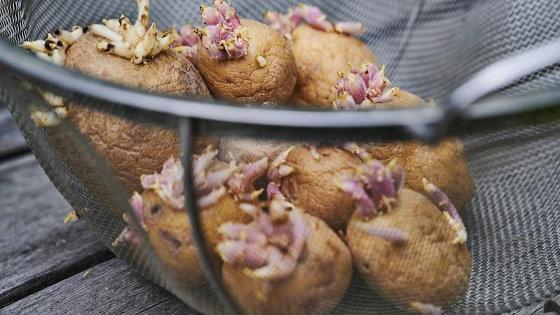 Keimende Kartoffeln kann man noch essen, wenn man kleine Triebe großzügig wegschneidet.