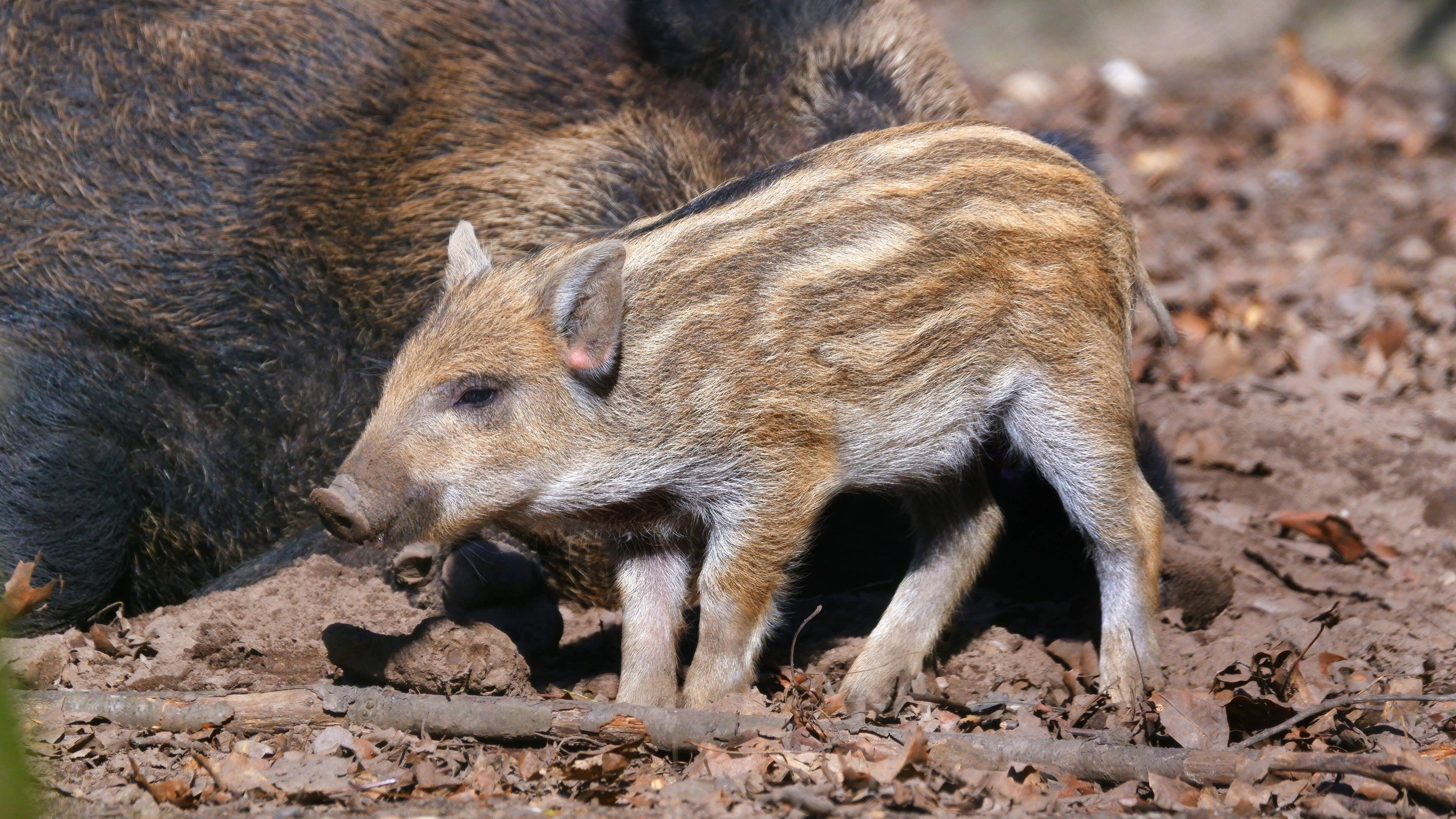 Wildschweinferkel kommen überwiegend im Frühjahr zur Welt.