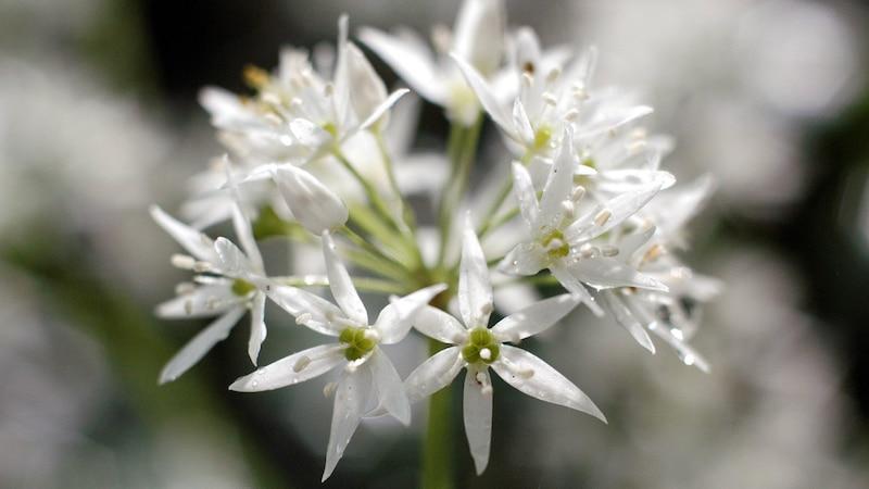 Auch die Blüte des Bärlauchs kann gegessen oder beispielsweise in Pesto verwendet werden.