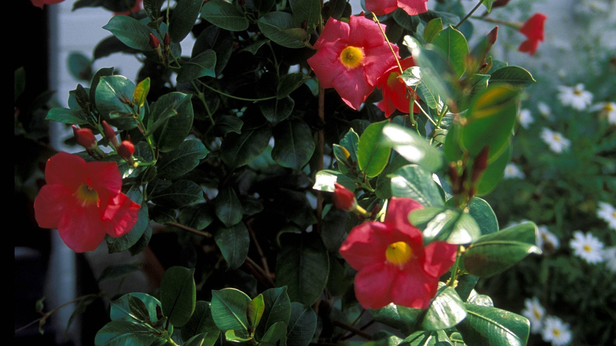 Mit der richtigen Pflege erstrahlt die Blütenpracht der Dipladenia ganz ohne gelbe Blätter.