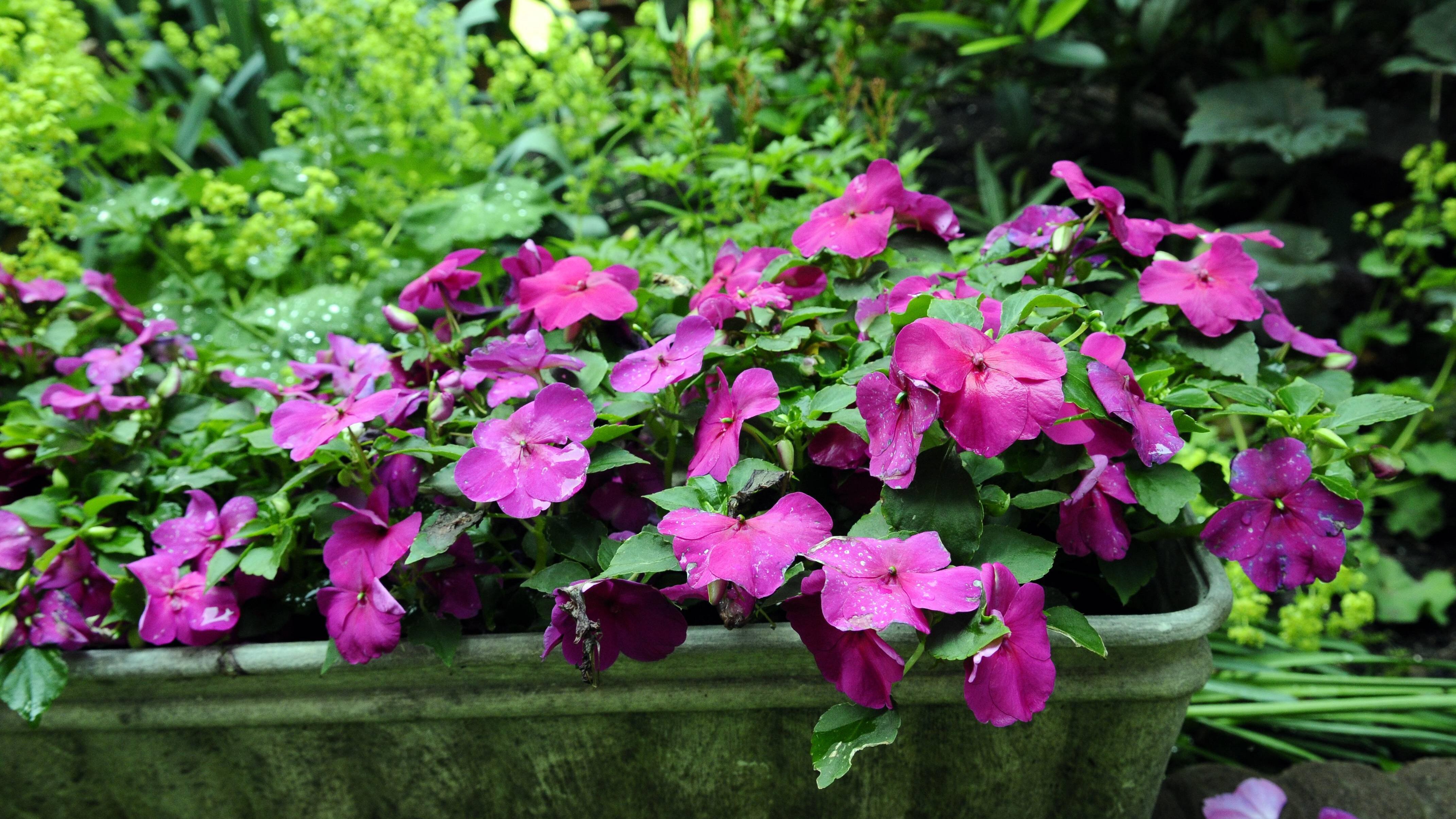Das Fleißige Lieschen ist eine Pflanze, die besonders gut auf dem Nordbalkon wächst.