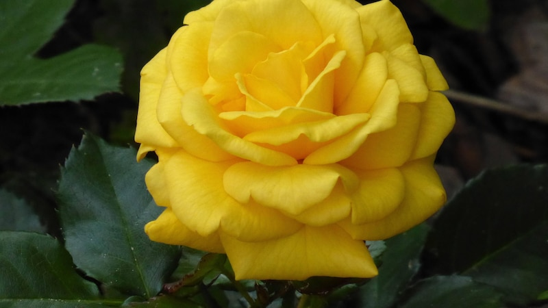 Gelbe Rosen haben verschiedene Bedeutungen.
