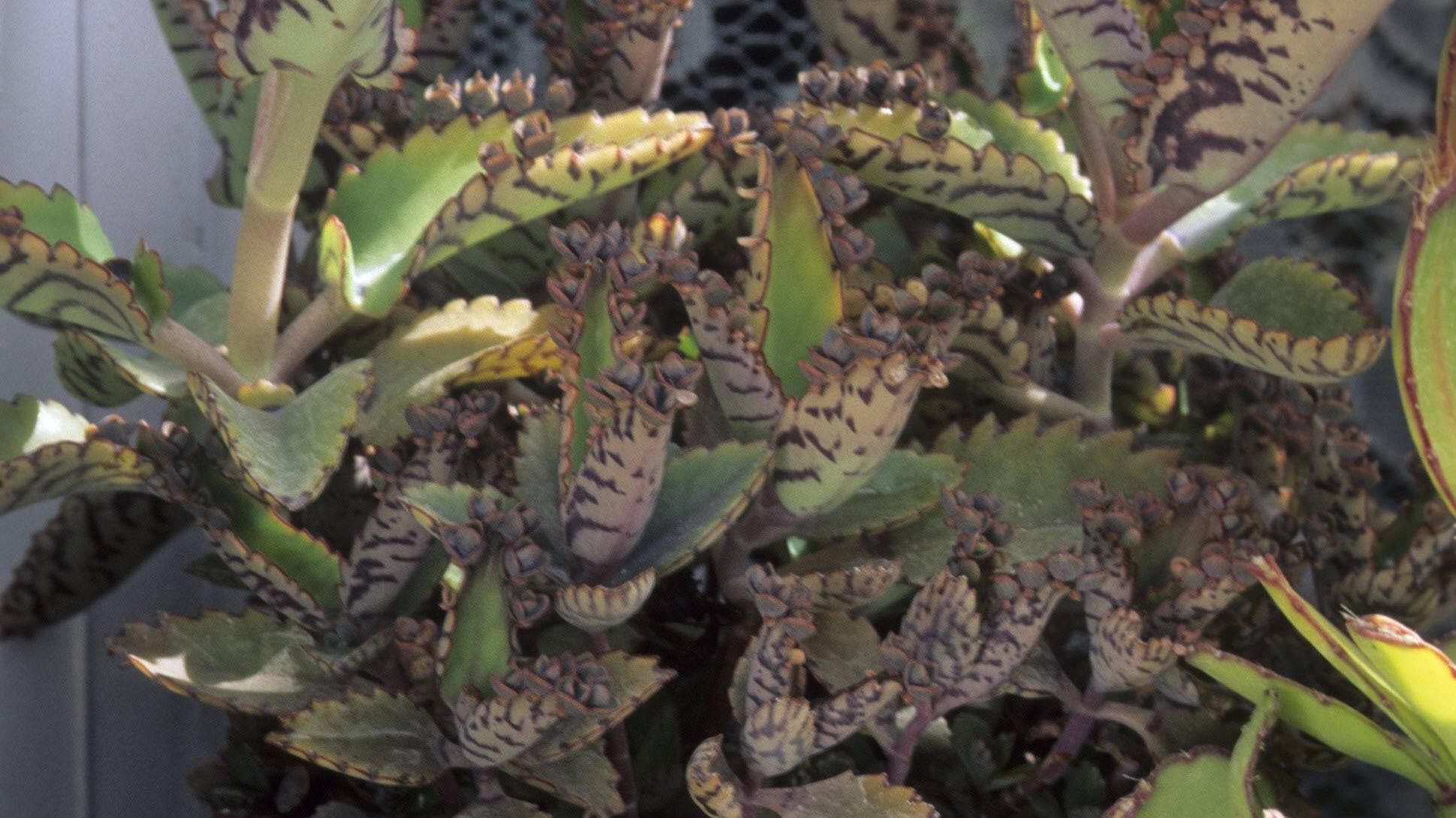 Pflege und Vermehrung des Brutblatts sind sehr unkompliziert.