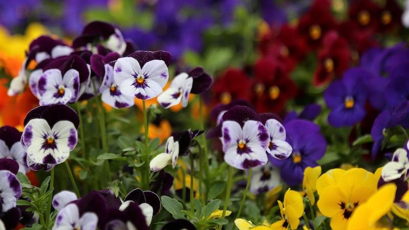Die Bedeutung des Stiefmütterchens geht auf die Blüten der Blume zurück.