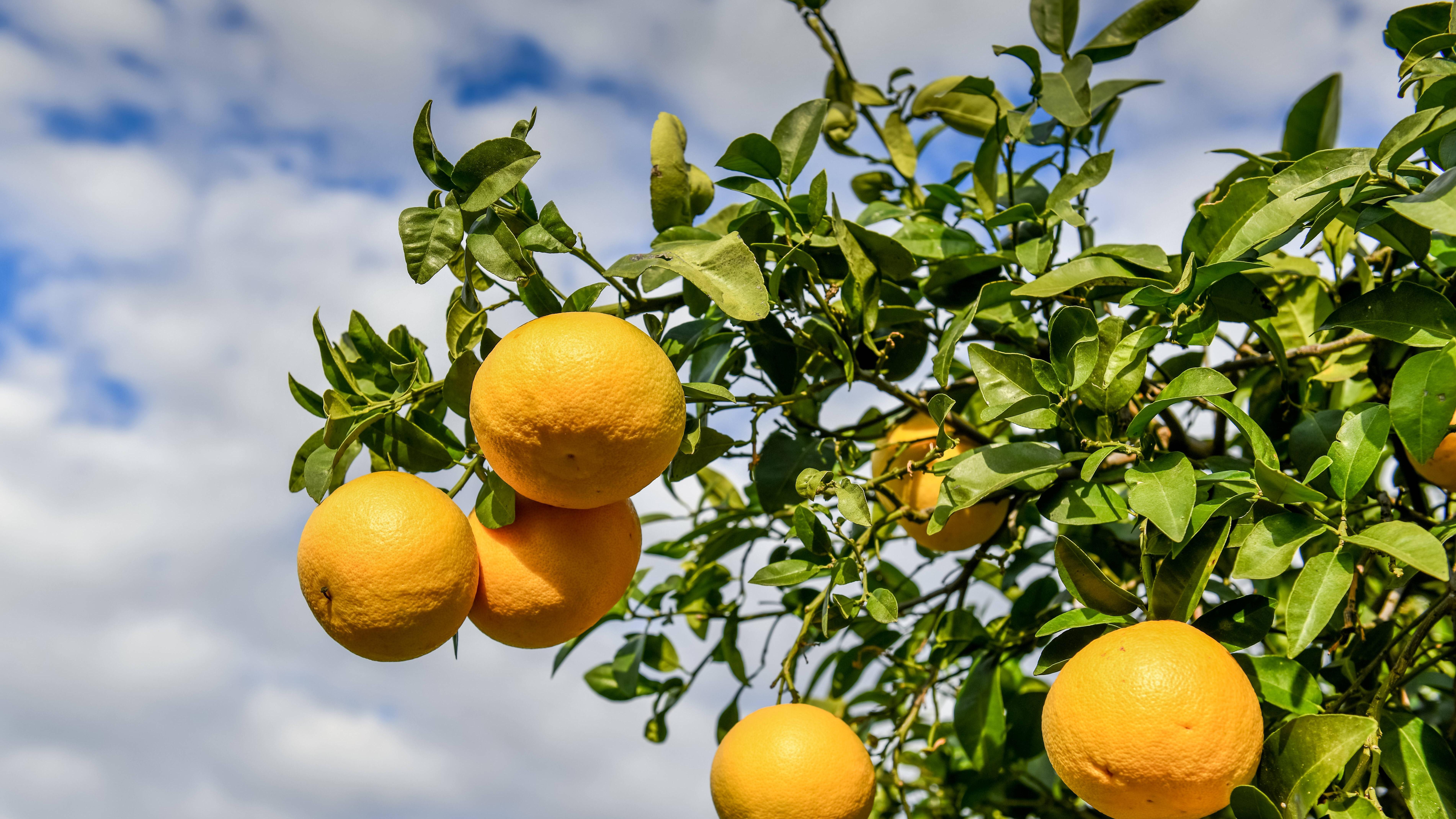 Orangenbaum selber ziehen: So funktioniert's