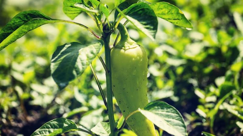 Keimdauer von Paprika: Mit diesen Tricks klappt's schneller