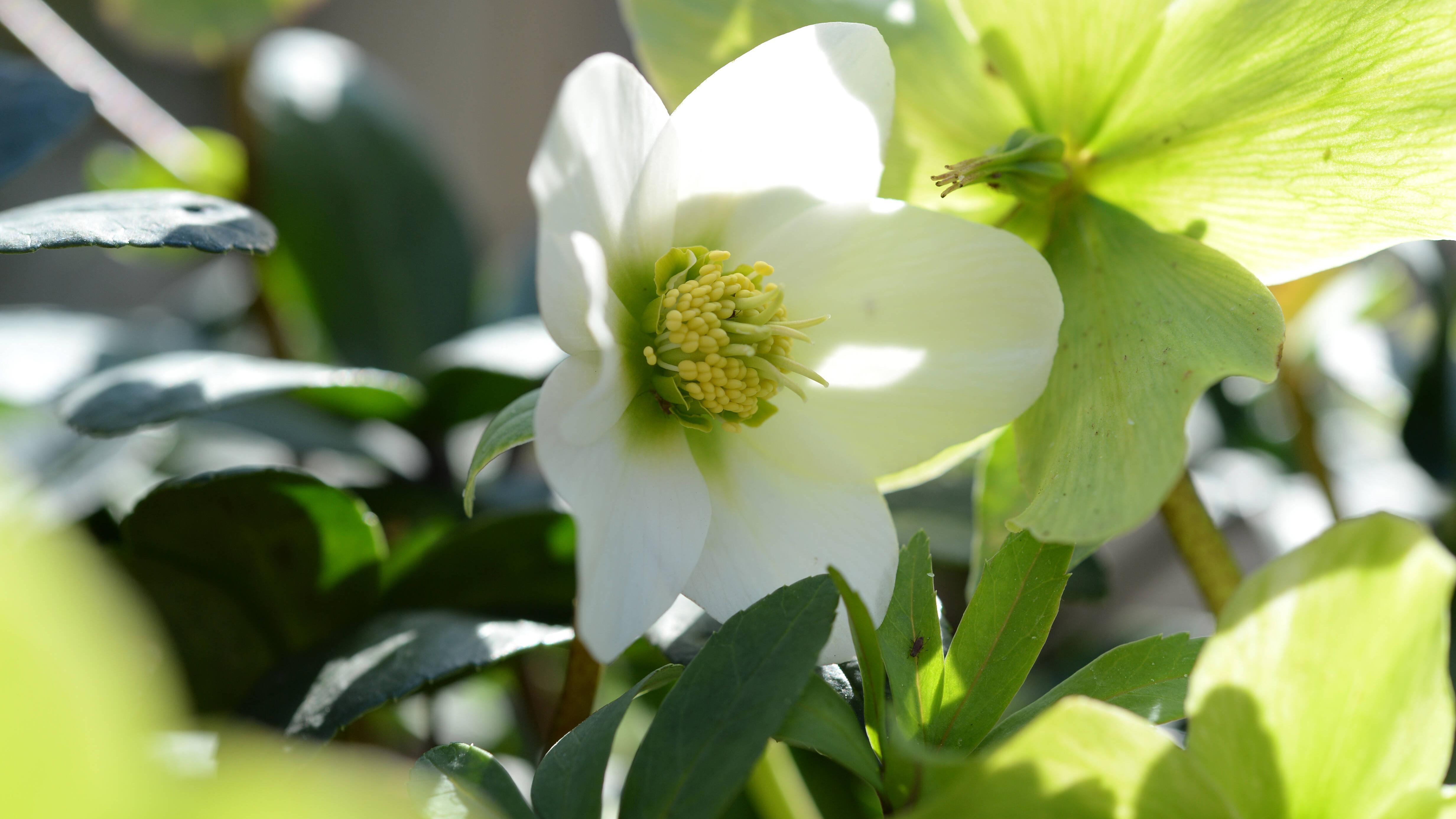 Christrosen: Diese Bedeutung steckt hinter der Blume