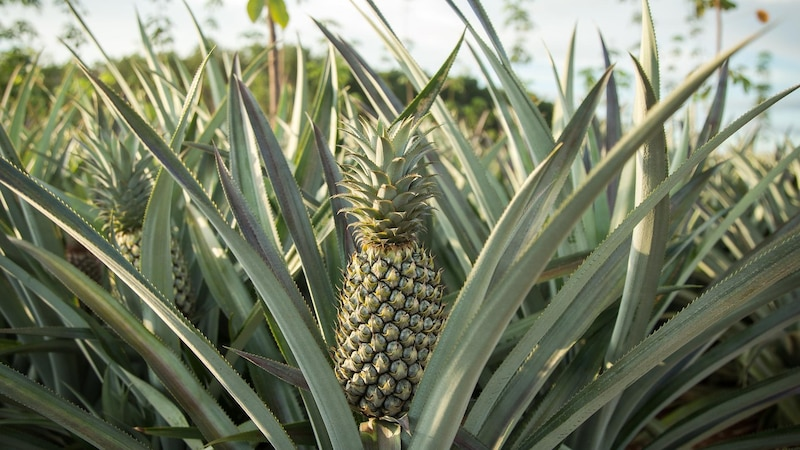 Die Ananas wird weltweit in tropischen Gebieten angebaut und hat heutzutage ganzjährig Saison.