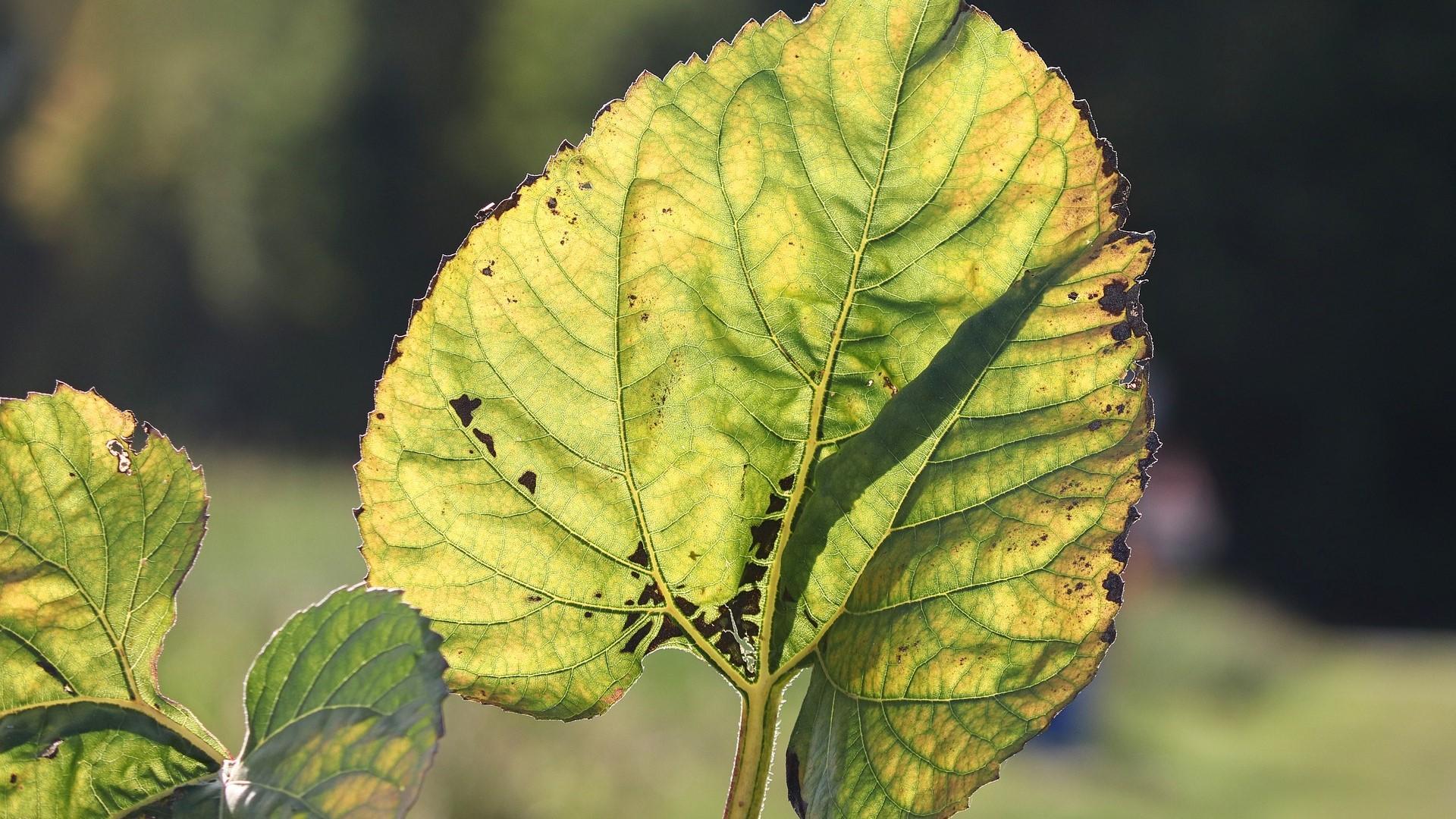 Chlorose - eine Mangelerscheinung von Pflanzen