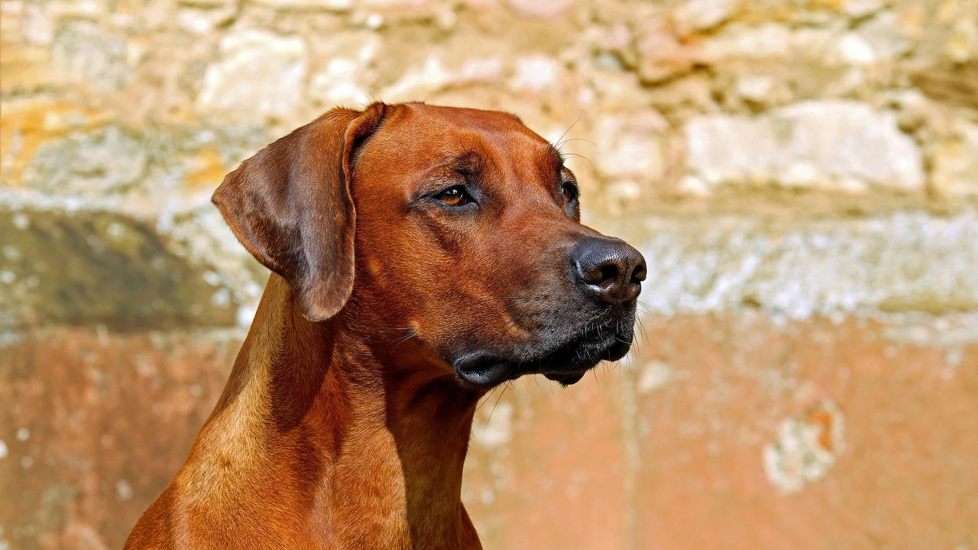 Ohrenentzündung beim Hund: Das müssen Sie wissen