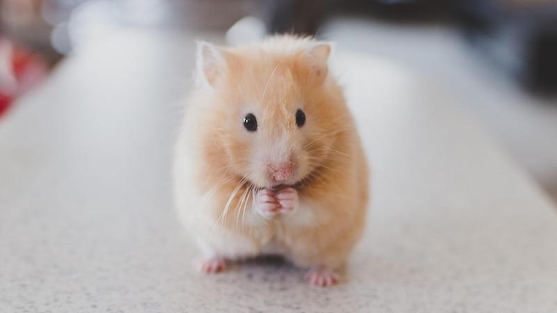 Den Hamsterkäfig zu reinigen bedeutet Stress für den kleinen Nager.