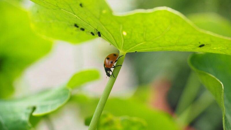 Marienkäfer sind wichtige Nützlinge, um die Rote Spinne zu bekämpfen.