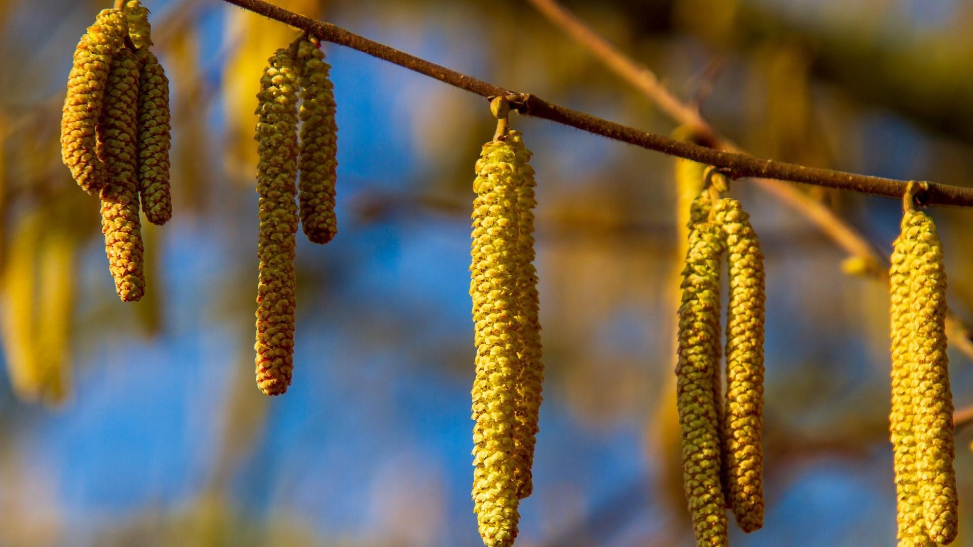 Früchte und Blätter der Hasel-Gewächse, deren Pollen für Allergiker eine Qual sein können.