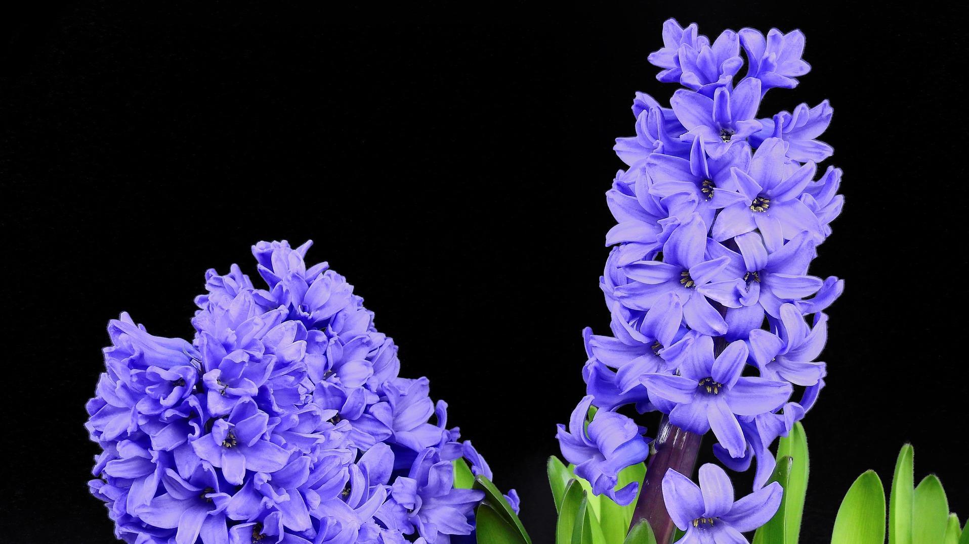 Hyazinthen drücken oft Zuneigung aus, auch in der christlichen Kirche hat die Blume jedoch eine Bedeutung.