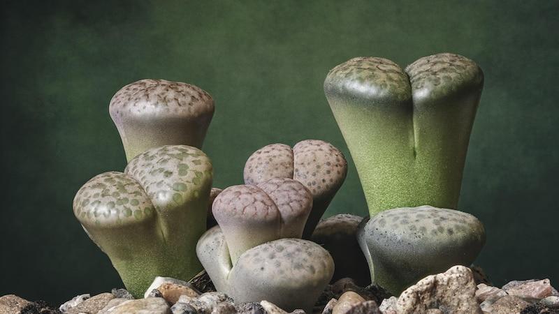 Lebende Steine gehören zu den pflegeleichten Pflanzen.
