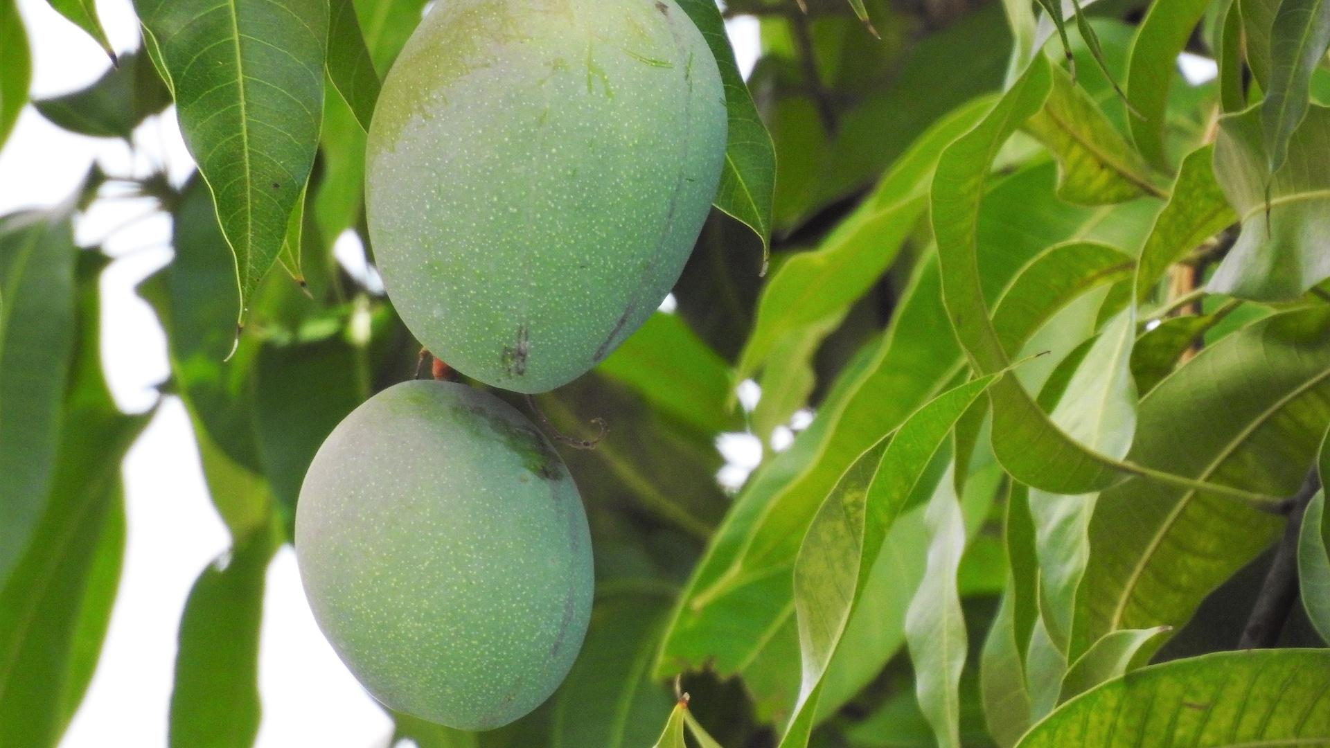 Mangokern einpflanzen: So klappt's mit der Anzucht