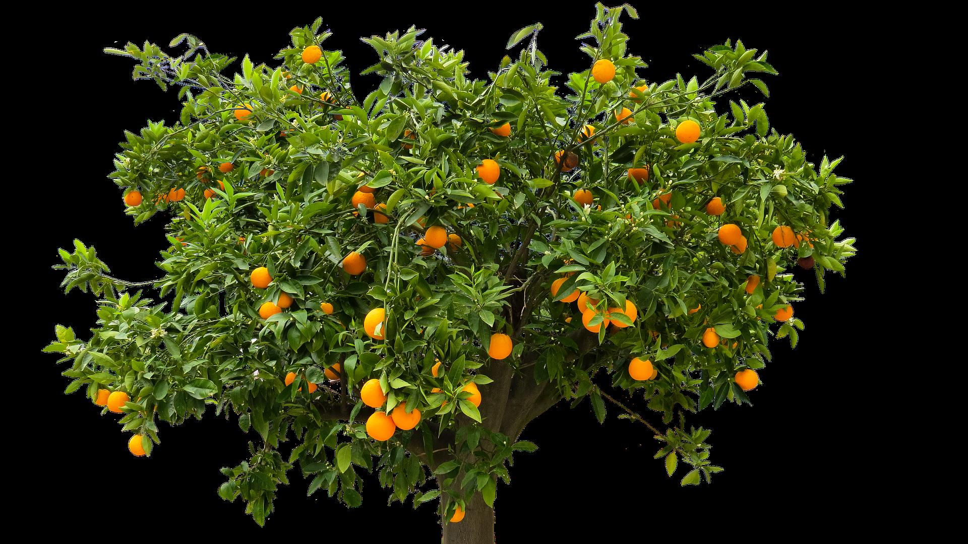 Orangenbaum schneiden: So gehen Sie richtig vor