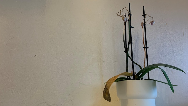 Ist diese Orchidee noch zu retten?
