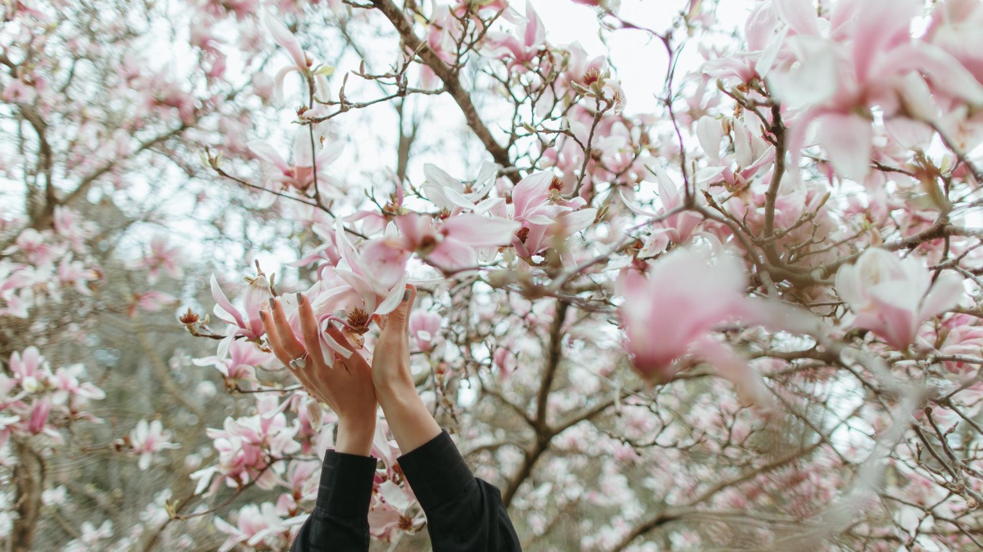 Die Bedeutung von Magnolien hat ihren Ursprung in Asien.