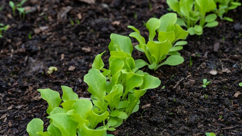 Wintersalat pflanzen: Tipps zu Sorten, Zeitpunkt und Pflege