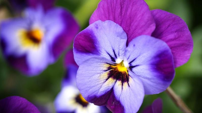 Veilchen: Die Bedeutung steckt hinter der Blume