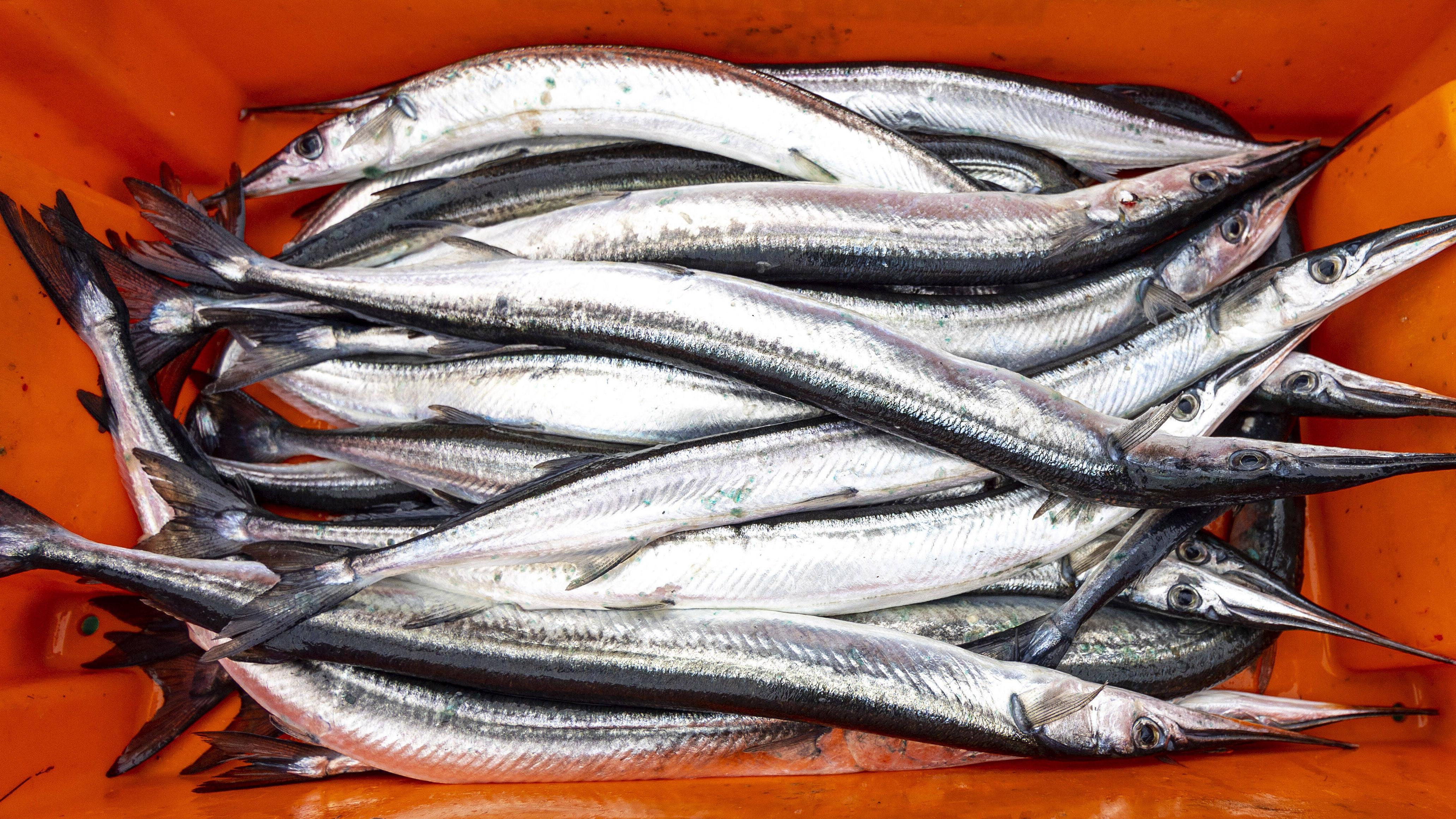 Hornhecht angeln Sie ab Ende April.