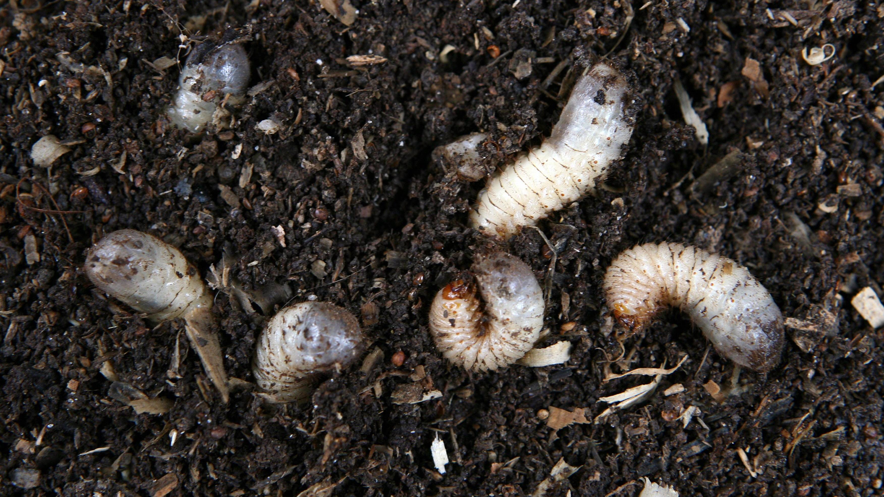 Engerlinge des Gartenlaubkäfers (Phyllopertha horticola)