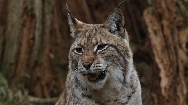 Der Luchs: So (un)gefährlich ist die Wildkatze