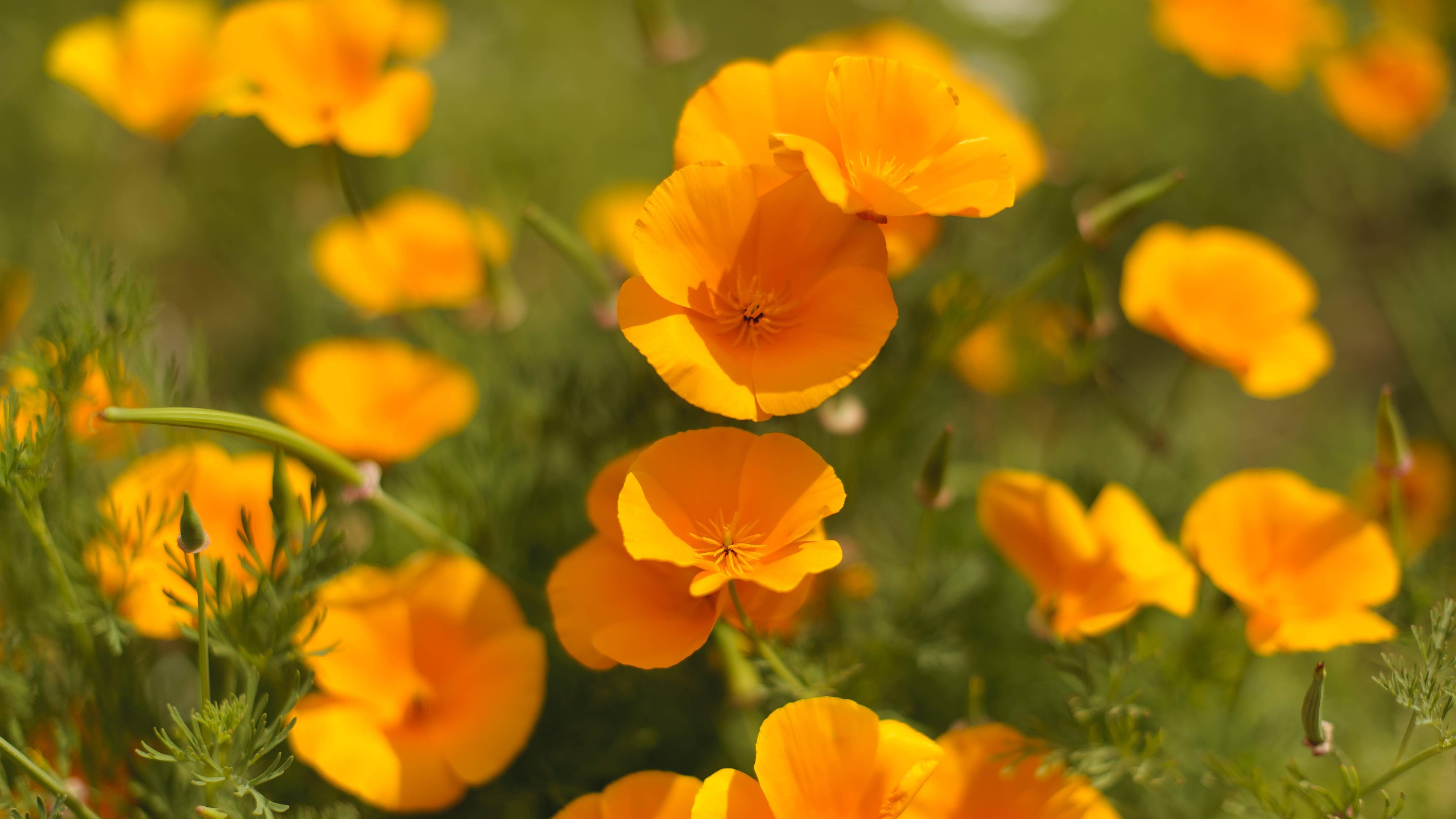Pflanzen Sie den goldenen Kalifornischen Mohn auf trockenen, sonnigen Böden.