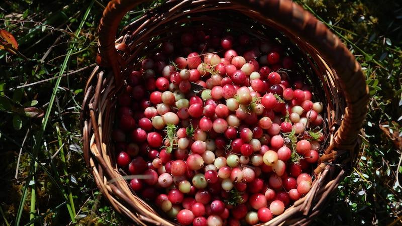 Cranberry ernten: Alle Tipps zu Pflege und Zeitpunkt