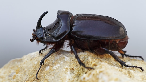 Cooler Käfer: So sieht ein Nashornkäfer (Oryctes nasicornis) aus