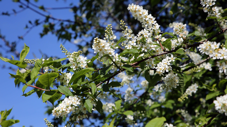 Die Blüten der gewöhnlichen Traubenkirsche sind schön und eine wertvolle Nahrungsquelle für Insekten.